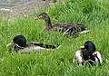 Riverside mallards - geograph.org.uk - 450252.jpg