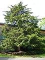 Robert Louis Stevenson's Tree, Colinton - geograph.org.uk - 1407534.jpg