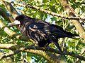 Rook (Corvus frugilegus) (7676096852).jpg
