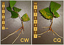 Rooted zelkova cuttings.jpg