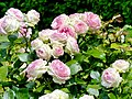 Rosa 'Eden 85' Rosengarten Köln 2017 05.jpg