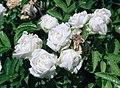 Rosa 'Paquerette'.jpg