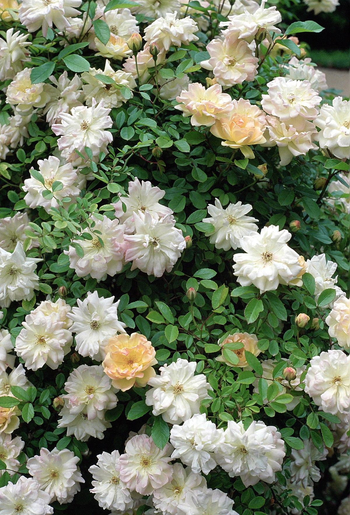 Rosa planta wikipedia for Plantas ornamentales wikipedia