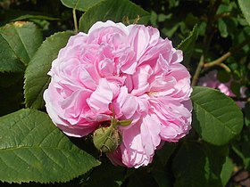 Image illustrative de l'article Jacques Cartier (rose)