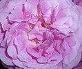 Rosa Lavender Lassie 2016-07-19 3038b.jpg