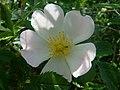 Rosa canina inflorescence (05).jpg