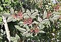 Rosa glauca fruit (13).jpg