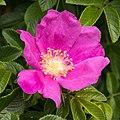 Rosa rugosa 10.jpg