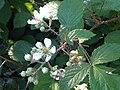 Rosales - Rubus fruticosus - 40.jpg