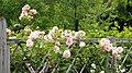 Rose, Chaplin's Pink Companion, バラ, チャップリンズ ピンク コンパニオン, (13034698644).jpg