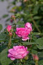 Rose, Masako(Eglantyne) - Flickr - nekonomania (1).jpg