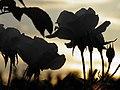 Rose (Rosa) et coucher de soleil (3).jpg