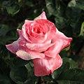 Rose Paul Shirville ポール シャービル (5020550514).jpg