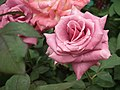 Rose from Lalbagh flower show Aug 2013 8541.JPG