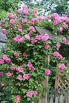'Rosa 'Zéphirine Drouhin', a Bourbon rose גן של שושנים