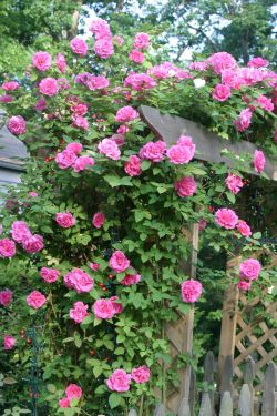Rosa  'Zéphirine Drouhin', «rosier Bourbon»
