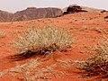 Rote Wüste Wadi Rum.JPG
