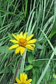 Rough Ox-Eye (Heliopsis helianthoides) 2016-07-12 014.jpg