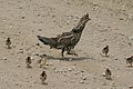 Ruffed Grouse with Chicks (18833287265).jpg