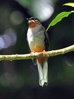 Rufous-throated Solitaire – cropped.jpg