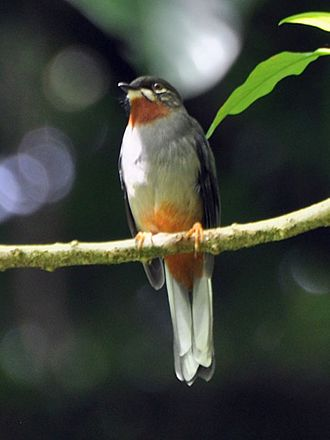 Live and Let Die (novel) - The Rufous-throated solitaire bird provided the name for the book's main female character.