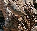 Rufous Crowned Sparrow A.r. eremoeca Texas.jpg
