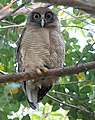 Rufous Owl 7373.jpg