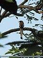 Rufous Treepie (Dendrocitta vagabunda) (15700563878).jpg
