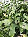 Ruscus hypoglossum shrubs.jpg