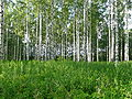 Rusisaari Birkenwald.jpg