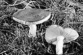 Russula xyanoxantha. (31226596521).jpg