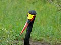 Saddle-billed Stork (Epphippiorhynchus senegalensis) female (6041063201).jpg