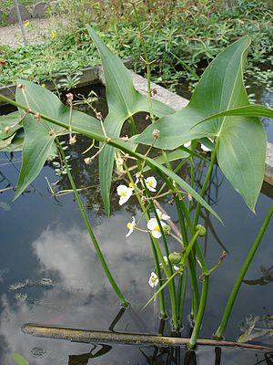 Sagittaria latifolia - Image: Sagittaria latifolia (flowers)