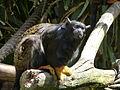 Saguinus midas in Lisbon Zoo.JPG