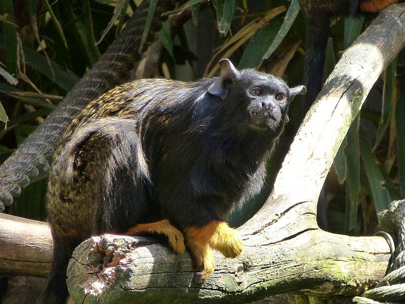TAMARIN A MAINS ROUSSES 800px-Saguinus_midas_in_Lisbon_Zoo