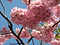 Saint Petersburg. Chinese Garden. Sakura tree2021 06.jpg