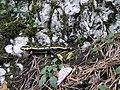 Salamandra salamandra 1.jpg