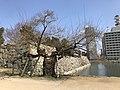 Salix chaenomeloides in Hiroshima Castle.jpg