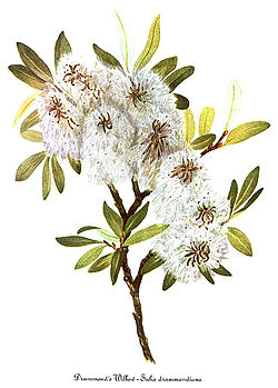 Salix drummondiana, by Mary Vaux Walcott.jpg