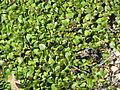Salix herbacea002.jpg