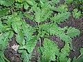 Salvia verbenaca 2017-09-29 6003.jpg