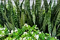 Sansevieria display - Montreal, Canada - DSC09739.jpg