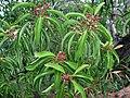 Santalum freycinetianum (5209508199).jpg