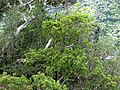 Santalum freycinetianum (5210111662).jpg