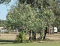Santalum lanceolatum.jpg