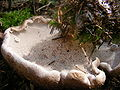 Sarcodon Imbricatum2.JPG