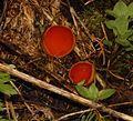 Sarcoscypha austriaca.jpg