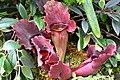 Sarracenia Purpurea (14031009373).jpg