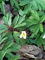Sasanka jarní (Anemone nemorosa), prvek jarní květeny lužního lesa.jpg