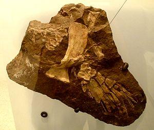 Rhizodontida - A fossil of Sauripterus taylori